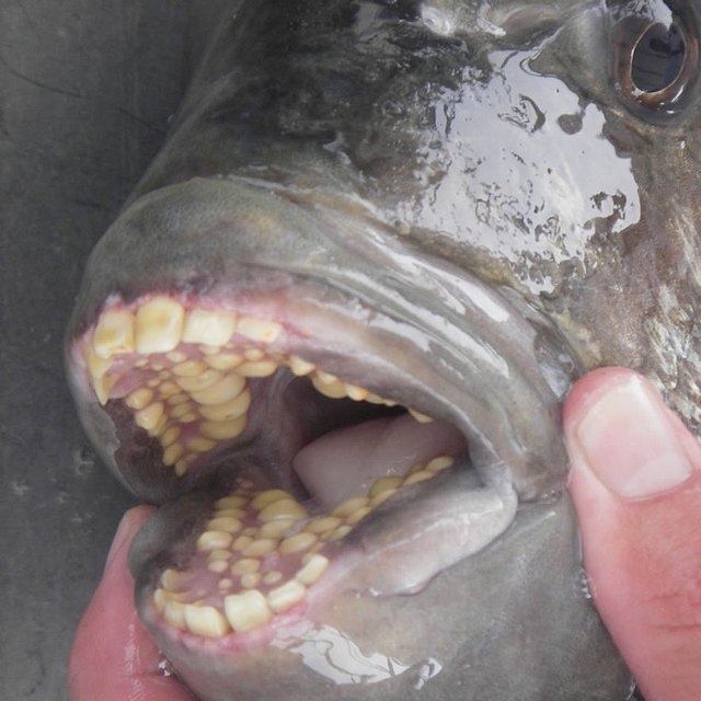 """Russian Fisherman Catches Fish With """"Human Teeth"""" Kids ..."""