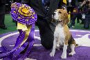 Beagle Scores Rare Win At America's Prestigious Westminster Kennel Club Dog Show