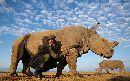 Meet Sudan, The World's Last Known Northern White Male Rhino