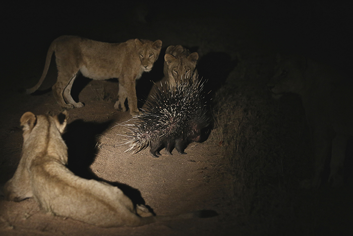 Video Of The Week - Brave Porcupine Fends Off Seventeen Lions!