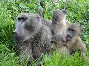 Forming Cliques Is Not Just A Human Trait - Baboons Do It Too!